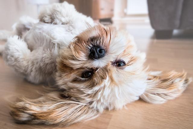 犬の涙やけに効く、綺麗な落とし方やフードについて