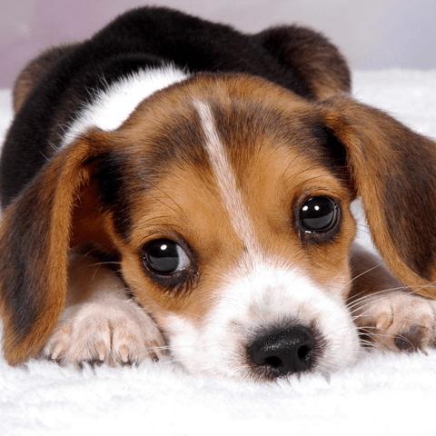子犬の歯の生え変わり時期に知っておきたいこと