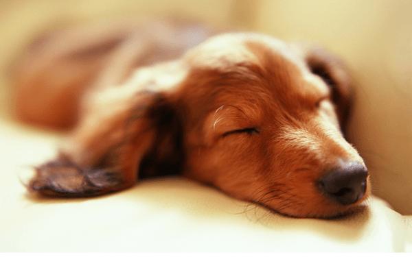 愛犬のノミダニ対処法と病状解説します