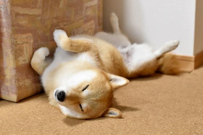犬が仰向けで寝る理由は? 仰向けを覚えさせる方法と危険性