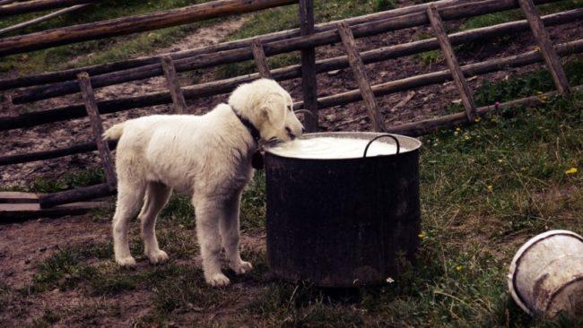 犬に牛乳を与える時に注意すること