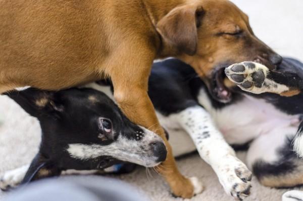 犬が喧嘩をする意味と止め方まとめ