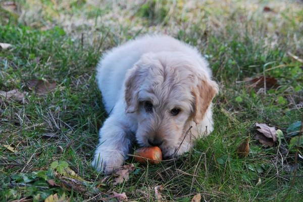 犬が拾い食いする原因とその危険性、防止法まとめ