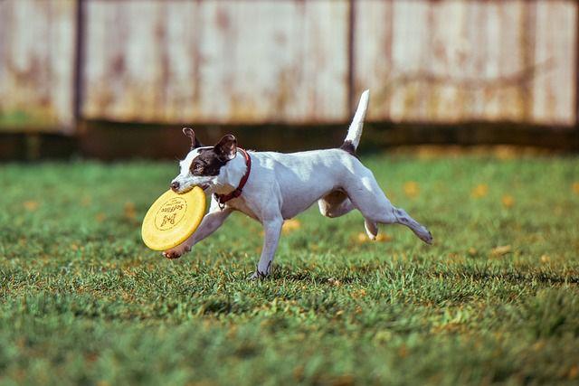 犬とフリスビーで遊ぶための教え方と練習方法!