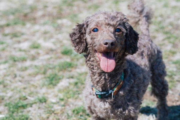 犬の声帯手術の方法や費用、メリットとデメリットまとめ