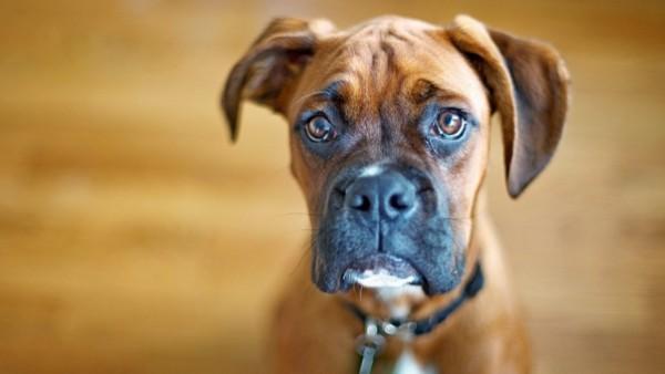 愛犬の突然死の原因は? 心臓病の可能性も