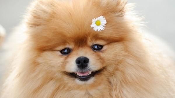 dog_flower_fluffy_muzzle_cute_40174_602x339