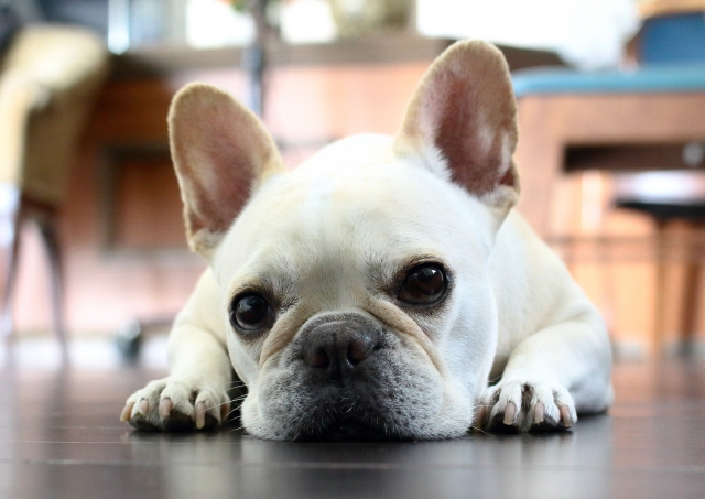 犬にも金属アレルギーがあった! 症状や対策は?