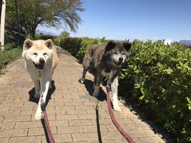 話題の「秋田犬」ってどんな犬? 家族に迎え入れるにはどうすればいい?